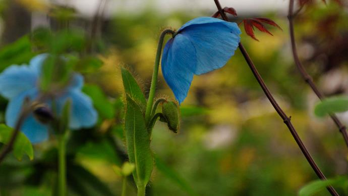 Blue poppy (Mecanopsis betonicifolia). This captivating blue poppy comes from the alpine fields of the Himalayas. To grow this rare plant successfully it demands a cool climate and a cool, moist spot in the garden.