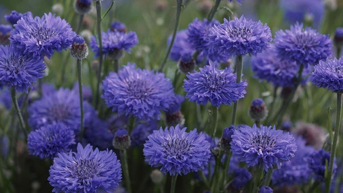 Cornflower (Centaurea cyanus). The blue of cornflowers is a special colour known as cornflower blue. Cornflowers bloom in spring and summer. Dry cornflower petals are included the Twinings' Lady Grey tea blend.