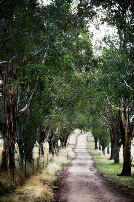 Gum trees (Eucalyptus viminalis), planted in the 1980's, line the drive.  | Photo: Sharyn Cairns