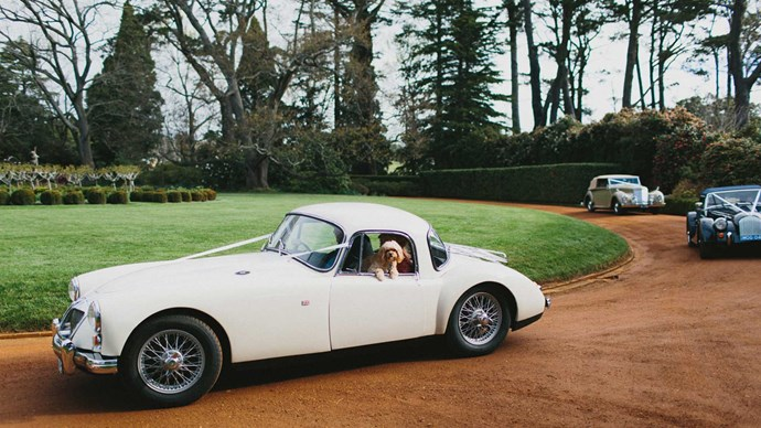 Canine maid of honour, Billie the cavoodle, arrives in a vintage MG with the mother of the bride. | Photo: Thomas Stewart