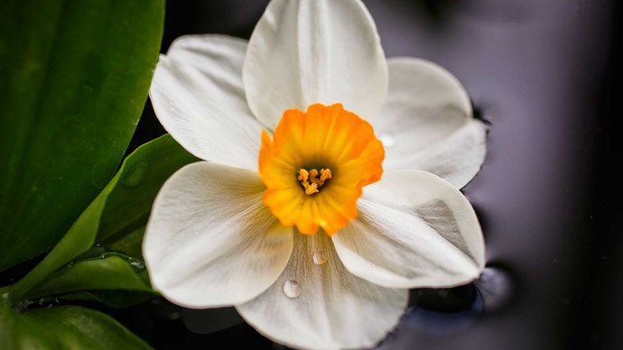 **Jonquil (Narcissus)**<p>  <p>Embedded with a bright yellow cup, the jonquil is easily one of the most cheerful blooms in the garden. And it seems to represent everything one would hope for in marriage: happiness, prosperity, rebirth and inspiration.<p>