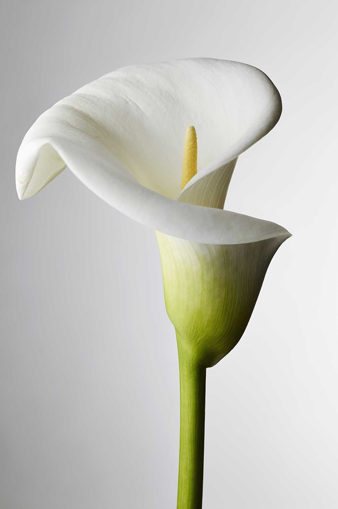 Calla lily. Not to be confused with its larger cousin, the arum lily, the calla is a more petite, refined version. With single petals molded to form a petite trumpet like shape, the calla lily offers indulgent shades of mango, burgundy and rich purple so dark, it is considered black. The elegant, simple stem lends itself to sheaf style bouquets, but can be equally striking in a posy .</p>