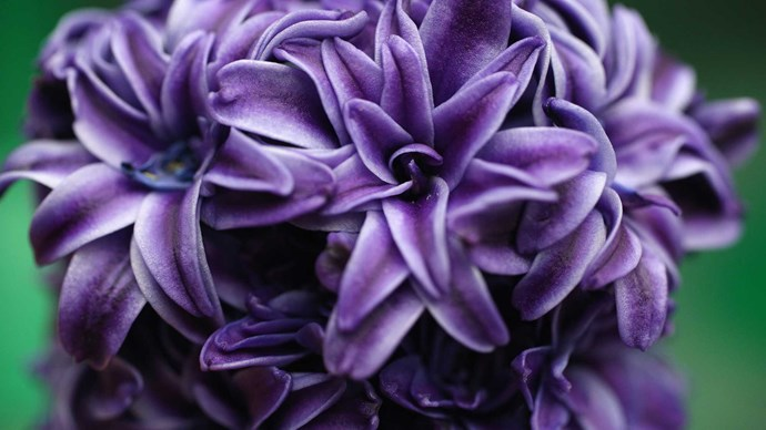 Hyacinth. Oh so sweet hyacinths, with their little star shaped blooms! Strongly scented in delightful shades of lilac, deep wine, white, lemon, pink and coral, they marry well with sweet peas and anemones. Individual blooms make for pretty for hair accents.