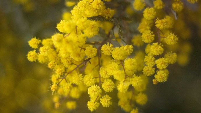 **Wattle**  Adopted as the floral emblem of Australia after the 1988 Bicentenary, and now forever steeped in Australian history from the national emblem to the favoured inspiration for uniforming our sporting heroes. Consisting of a multitude of fuzzy golden orbs and sweet perfume, Wattle adds a country aesthetic to any special day.