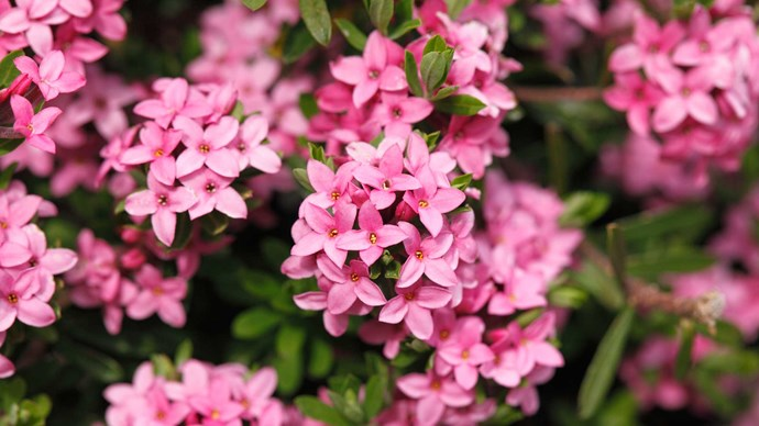 Daphne. A shrub with scented, petite star-shaped blooms in deep pink and white. In Greek mythology, Daphne stole the heart of god Apollo and was turned into this bloom to protect herself from his advances. Lovely in a little cluster or mixed with other pink blooms.