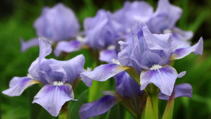 Bearded Iris. A more decadent and flamboyant cousin of the Iris, the Bearded Iris is quite breathtaking. With billowy folds of petals that fade from rich plum to a golden champagne hue, they are stunning on their own and a more contemporary option for the non-traditional bride, with a sweet promise in love, faith and cherished friendship.</p>