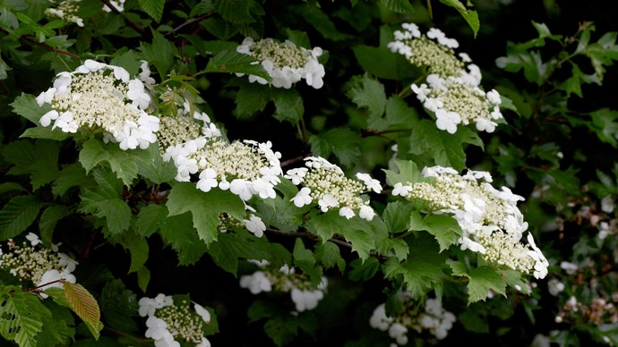 """Guelder Rose. A shrub bearing the most pastel green domes of the daintiest blooms, the Guelder Rose adds romance and English garden whimsy. Also known as """"snowball"""" due to the near whiteness and the snowballs they resemble, it can be used throughout a bouquet and is quite stunning kept long and shrubby for taller ceremony arrangements.</p>"""
