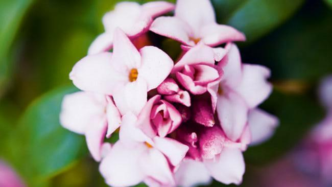 <p>**DAPHNE**<p>  <p>Daphne needs morning sun and protection from cold wind. It also likes moist, cool soil that is well drained and slightly acidic. Susceptible to viruses, however. It's a good idea to water with Yates Anti Rot. <p>