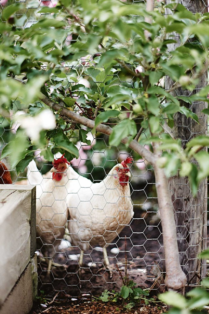Hens are also frequent wanderers on the farmhouse grounds, coming and going from the garden rooms.  | Photo: Mark Roper