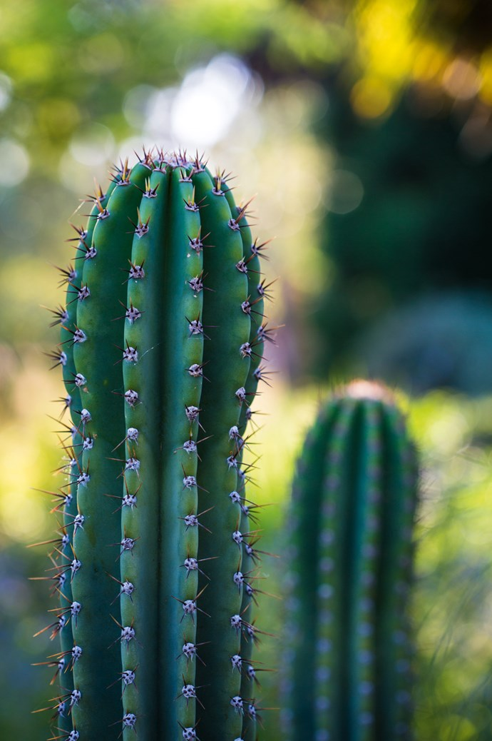 "Cacti, such as this cereus, are a tough, [low maintenance planting choice](https://www.homestolove.com.au/how-to-create-a-low-maintenance-garden-3147|target=""_blank"")."