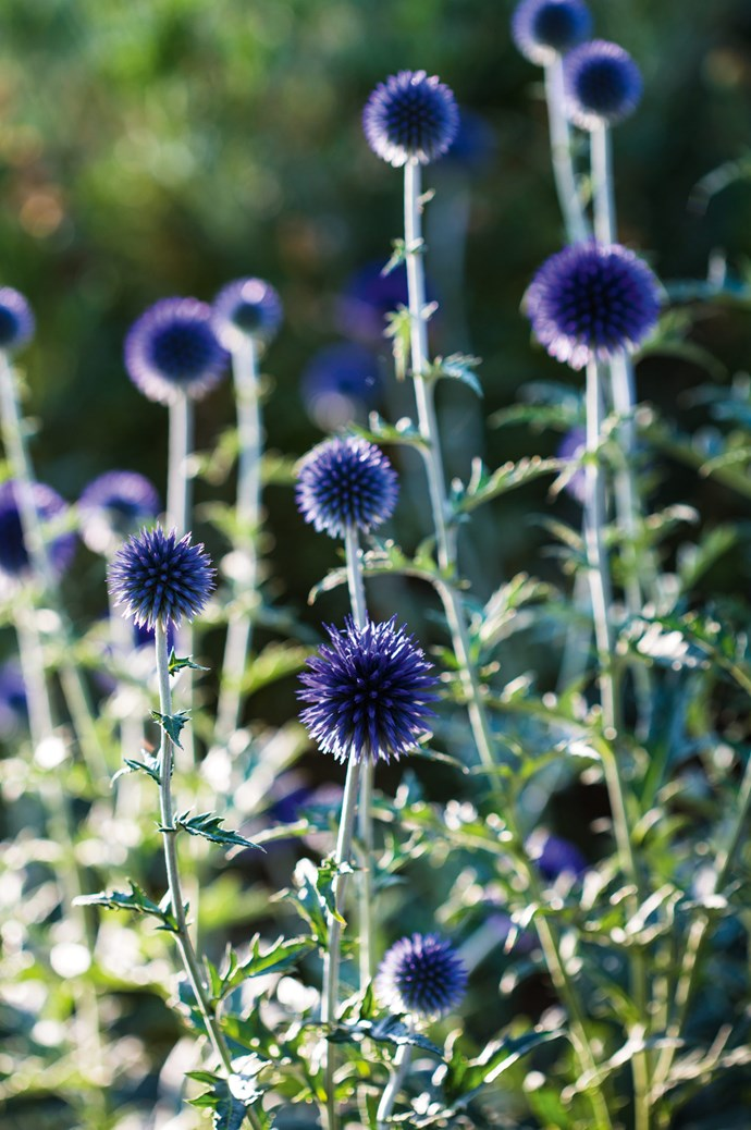 As the name suggests, Veitch's Blue provides a brilliant pop of deep violet-blue colour.