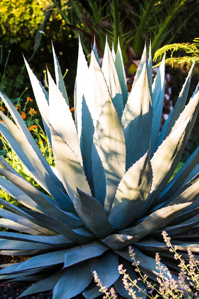 Contrast the sharp, sculpted leaves of Agave parryi by planting softer foliage around its base.