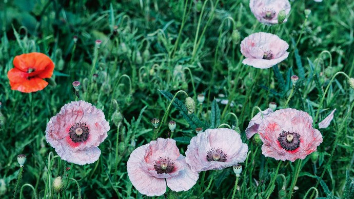 The pools of colour in these poppies resemble old paint-caked palettes.