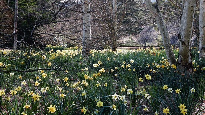 Daffodils naturalise under birch trees; the product of a 16-year-long labour of love.
