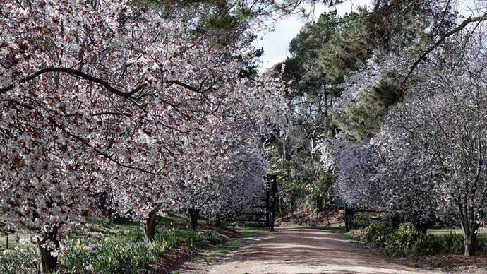 The driveway entrance is guarded by flowering 'Nigra' plums (Prunus cerasifera), which carpet the road with fallen petals.
