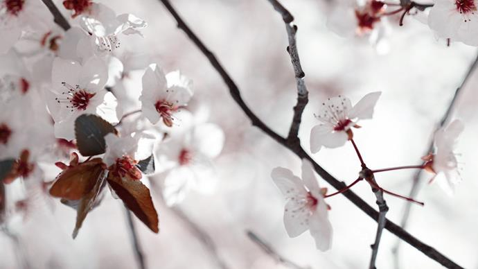The 'Nigra' spring blossom adds a delicate touch to the garden's nuanced palette.
