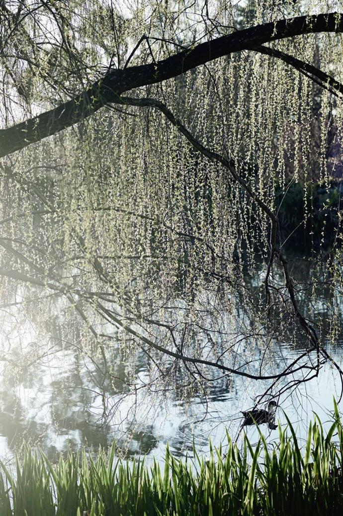 Willow trees overhang the lake, which many geese call their home.