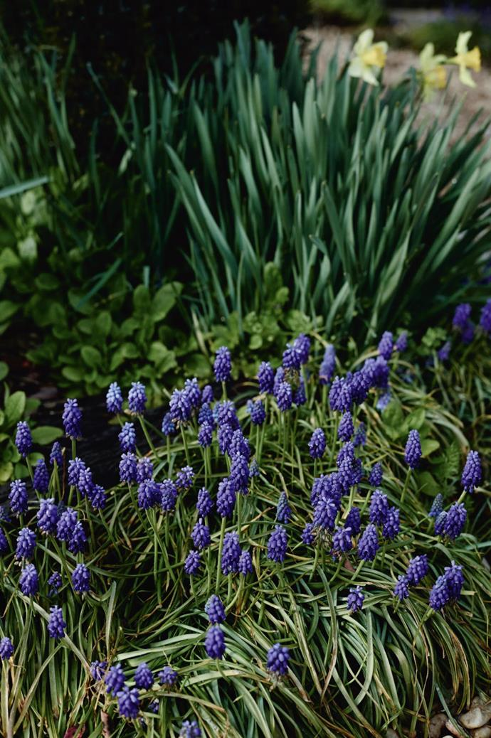 "Jo's tastes have honed on a signature palette of blue and white - hydrangeas, hyacinths, viburnum, and tulips. But she makes an exception for the village's biggest calendar event, [Daffodils at Rydal](http://www.rydal.com.au/events|target=""_blank""