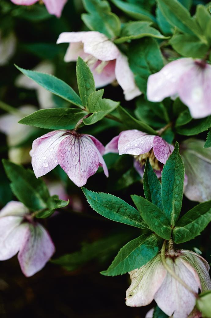 "'Helleborus orientalis' blushes pink in the [planted hedges](https://www.homestolove.com.au/hedging-how-to-3687|target=""_blank""); the hellebores gain this colour with age."