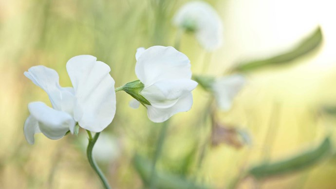 Sweet pea. The ruffled, paper-petaled sweet pea is often used as a term of endearment. Its delicate perfume made it a floral sensation in the 1800s and a popular choice for bridal bouquets. Available in a candy store of colours, the sweet pea is a timeless classic.