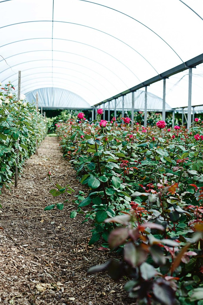 Many roses are sheltered by wide plastic canopies on the farm - except the fragrant David Austins, which are out in the open.