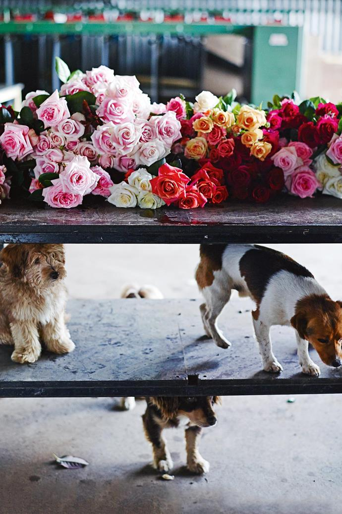 """In adulthood, Paula began experimenting with roses. Today she farms 40,000 bushes. Her six [beloved dogs roam the farm](https://www.homestolove.com.au/rural-homes-with-animals-19599 target=""""_blank""""), including Beniamino, Buddha, Bentley and Bumbalina (pictured)."""