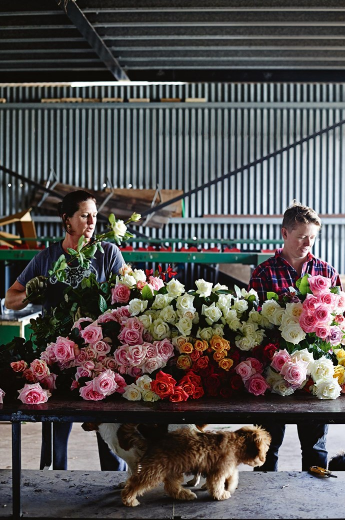 "Paula and Tam sort stems in the shed. Many of today's roses are imported and heavily sprayed, so they don't have much scent and don't open. Paula takes a more organic approach. The secret lies in timing when to give them water and feed, and leaving blooms on the plant just a bit longer. ""Every day I'm yelling at my workers, 'Don't pick those!'"" Paula says. ""If you pick a rose too tight, it won't open."""