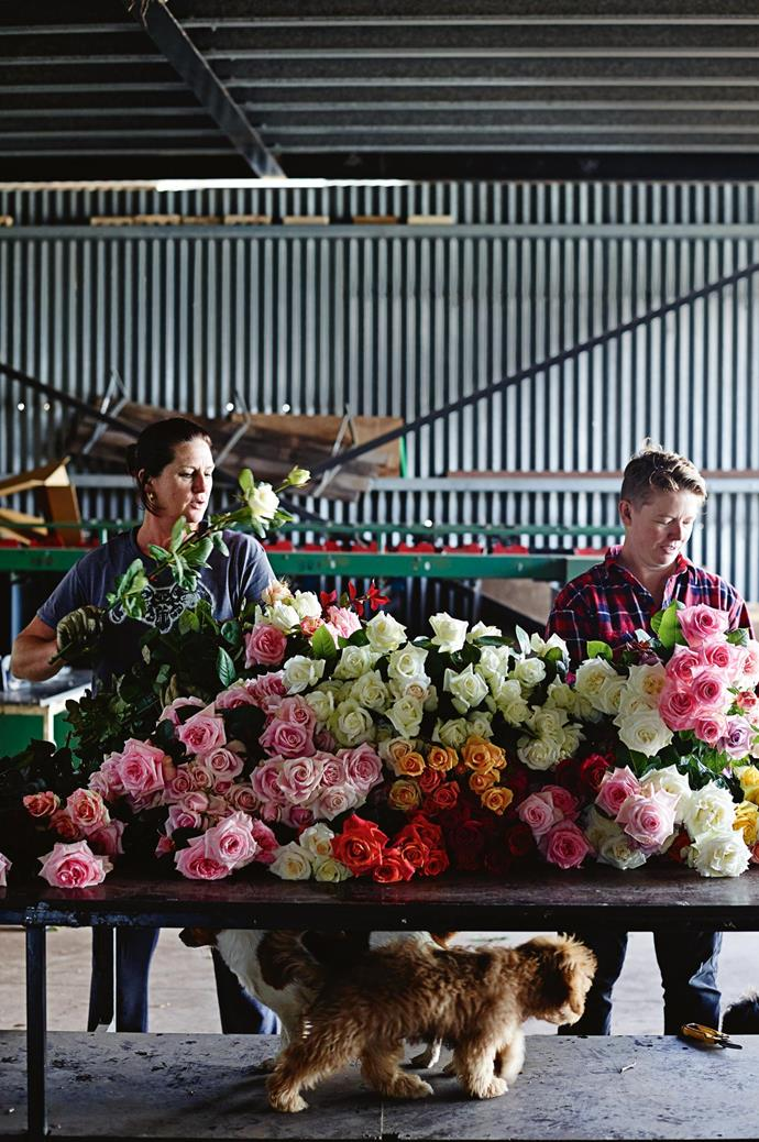 """Paula and Tam sort stems in the shed. Many of today's roses are imported and heavily sprayed, so they don't have much scent and don't open. Paula takes a more organic approach. The secret lies in timing when to give them water and feed, and leaving blooms on the plant just a bit longer. """"Every day I'm yelling at my workers, 'Don't pick those!'"""" Paula says. """"If you pick a rose too tight, it won't open."""""""