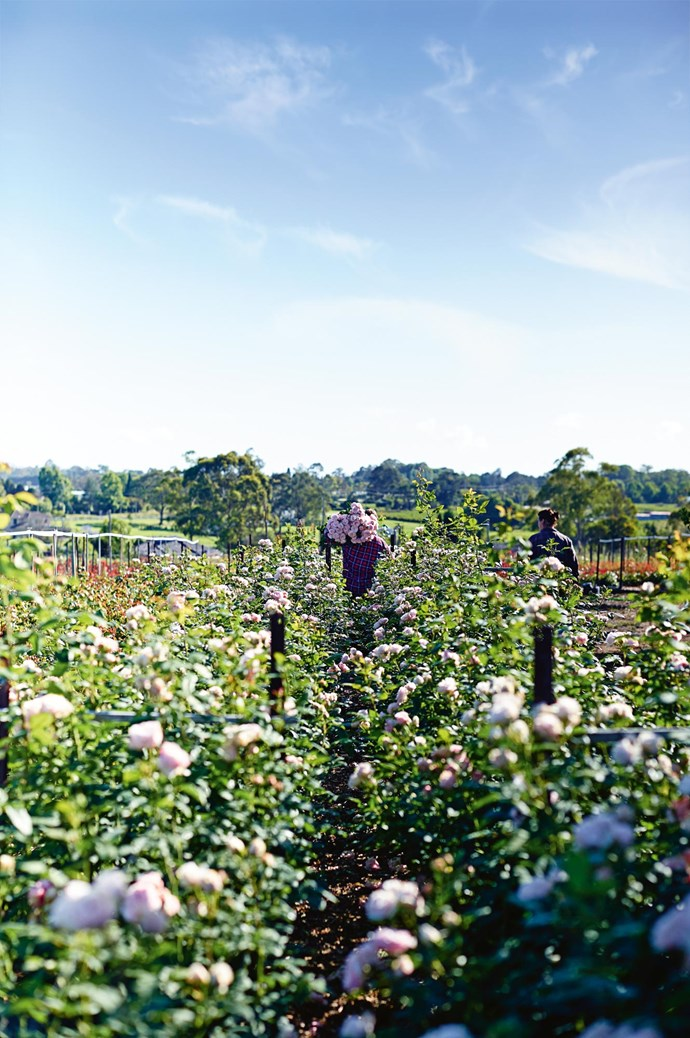 "An open field of David Austin 'Clare' roses on the property of Paula's parents,  who immigrated to Australia from Italy. As children, Paula and her sisters were put to work tending their [vegetable garden](https://www.homestolove.com.au/5-easy-to-grow-vegetables-5685|target=""_blank""). ""It was slave labour! Dad was a workaholic, and we had to pay for it,"" Paula laughs."