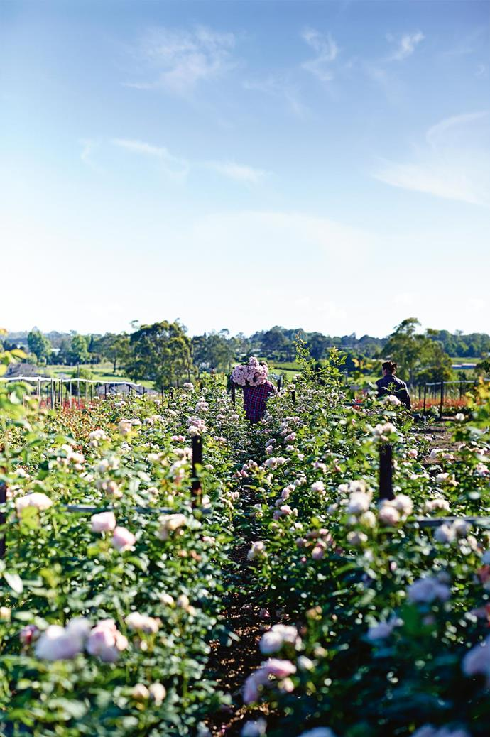 """An open field of David Austin 'Clare' roses on the property of Paula's parents,  who immigrated to Australia from Italy. As children, Paula and her sisters were put to work tending their [vegetable garden](https://www.homestolove.com.au/5-easy-to-grow-vegetables-5685 target=""""_blank""""). """"It was slave labour! Dad was a workaholic, and we had to pay for it,"""" Paula laughs."""