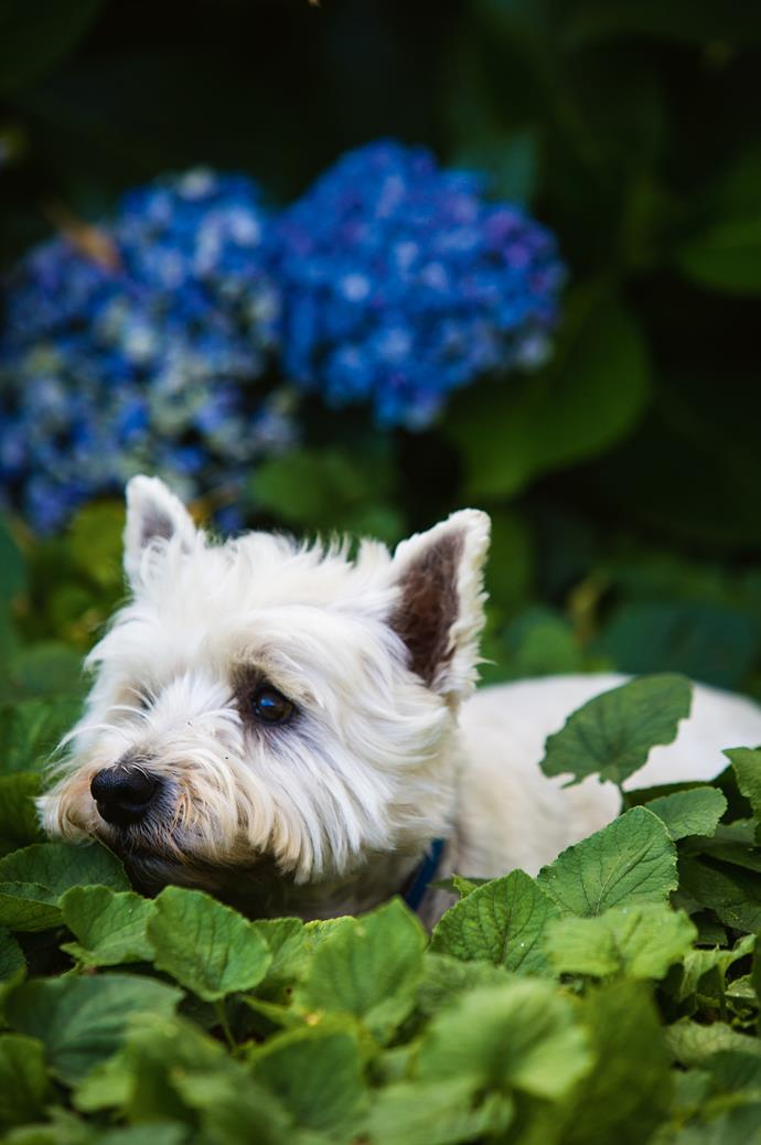 Paddy the 14-year-old West Highland terrier exploring the sea of hydrangeas and violets.