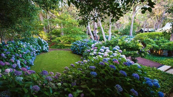 Swathes of mopheads, or Hydrangea macrophylla, curl into the serpent garden.