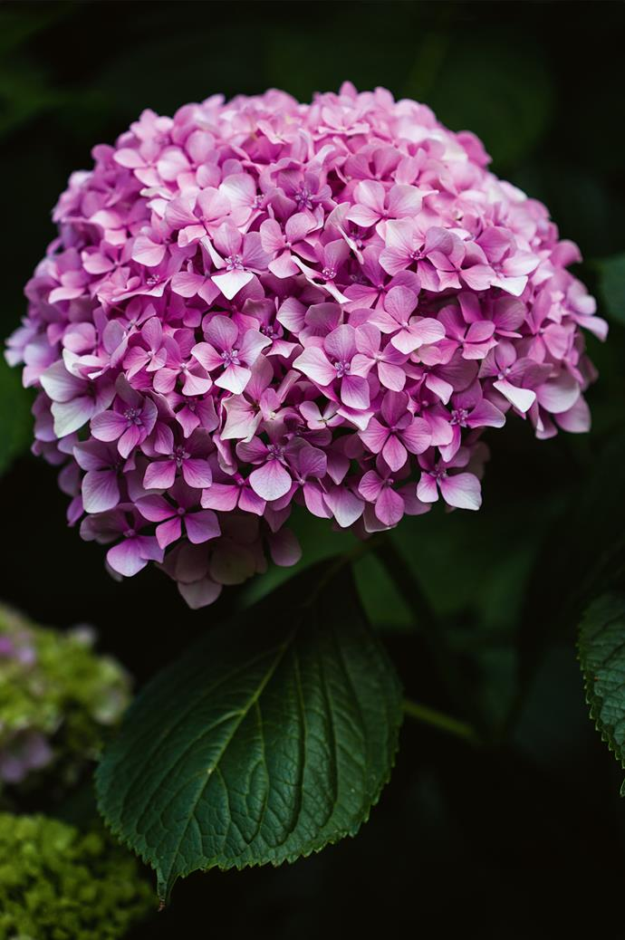 "'Hydrangea macrophylla' flourish under Pat's experienced hand, as she continues to produce [exciting new hydrangea varieties](https://www.homestolove.com.au/5-exciting-new-hydrangea-varieties-4409|target=""_blank"")."