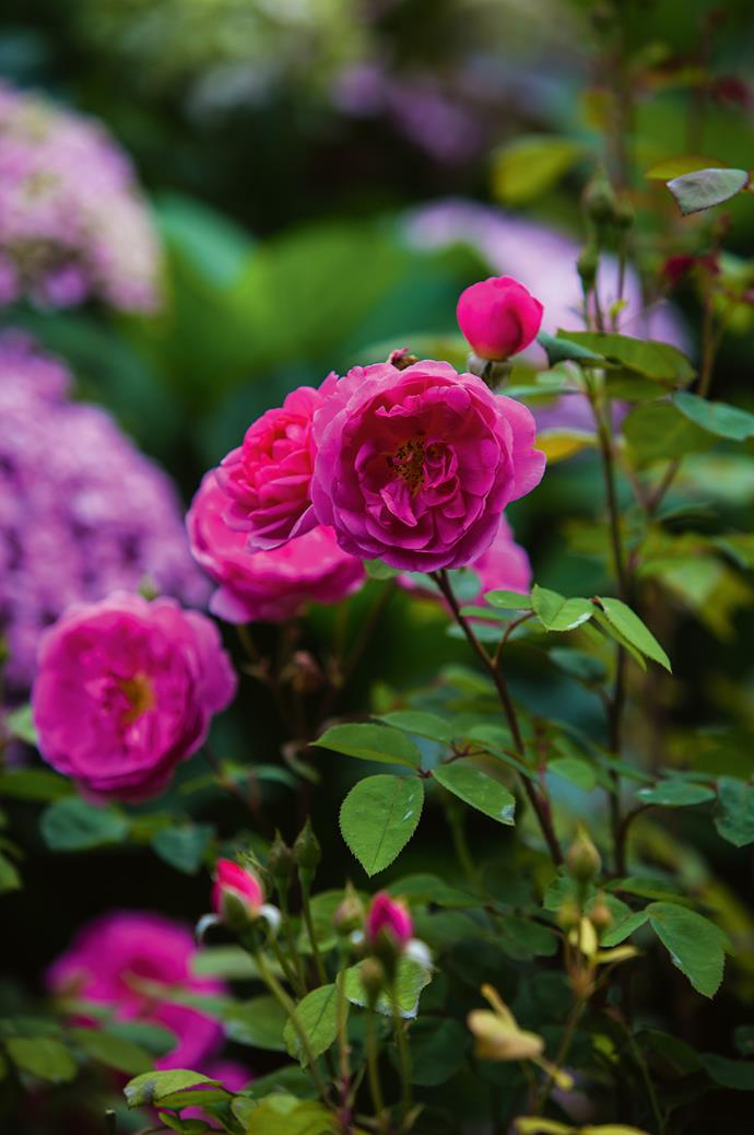 """Reine des Violettes"" grow in the company of heritage [rose varieties](https://www.homestolove.com.au/rose-varieties-australia-3218