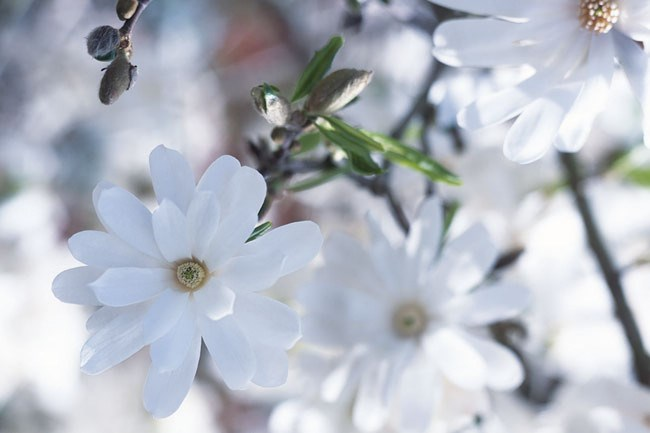 "**Royal Star** features white star-shaped blooms with a sweet honey fragrance and is just one of the [many magnolia varieties on offer](https://www.homestolove.com.au/plant-guide-magnolias-12810|target=""_blank"") in Australia."