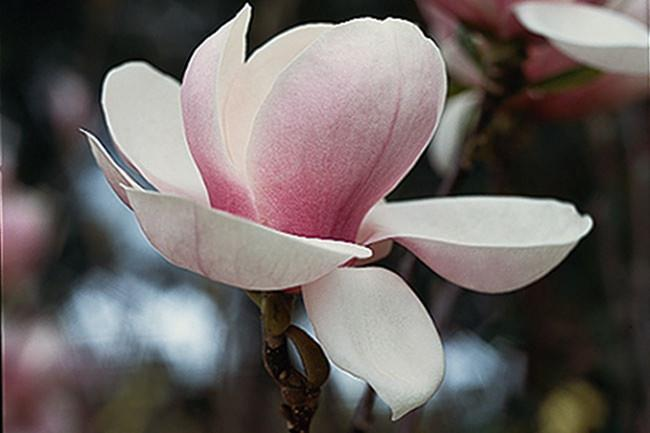 **Dolly Horn** Medium-sized tree that flowers when young. The blooms have wide-cupped petals, rounded and sensual, in translucent-white, with soft pink veining and a blush-pink base.