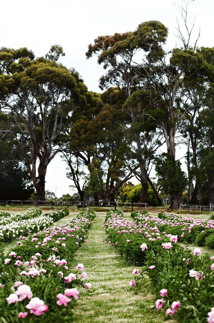 "Take a tour of this [peonies farm in central Victoria](https://www.homestolove.com.au/a-home-among-the-peonies-12183|target=""_blank"").