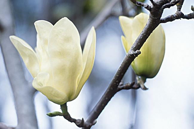 **Elizabeth** A medium-sized tree with yellow tulip-shaped blooms, fading to cream, with a fresh lemon fragrance. When in bloom it looks just like a kaleidoscope of yellow butterflies fluttering in the breeze. This is the last magnolia of the season to flower.