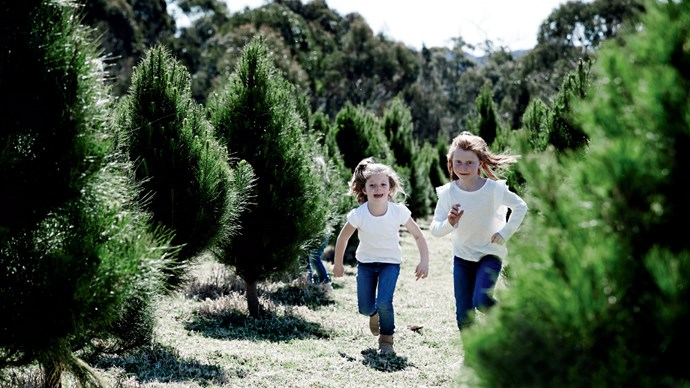 **Radiata pine** (*Pinus radiata*): In their natural environment, these trees can grow over 30 metres high, so keep them contained in a pot. They have many upward-pointing branches with long pine needles and have a wonderful pine scent. *Photo: Mark Roper*