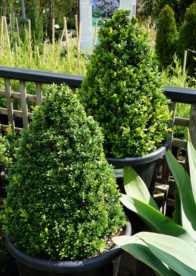 """**English or Japanese boxwood:** A tree with compact growth and small leaves that can be pruned into a Christmas-tree shape. Decorate them with red bows or balls. Once Christmas is over, pop this tree outside and simply [prune into shape](https://www.homestolove.com.au/plant-pruning-for-beginners-9843