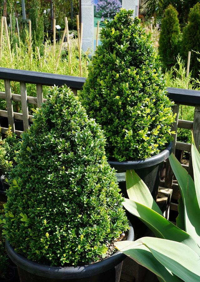 "**English or Japanese boxwood:** A tree with compact growth and small leaves that can be pruned into a Christmas-tree shape. Decorate them with red bows or balls. Once Christmas is over, pop this tree outside and simply [prune into shape](https://www.homestolove.com.au/plant-pruning-for-beginners-9843|target=""_blank"") before Christmas hits next year."