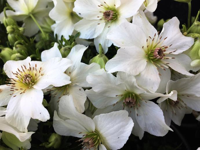 """**Clematis: **Available in a wide range of colours, some varieties also have a pretty scent. Part of the buttercup family, [there's a type of clematis for any climate](https://www.homestolove.com.au/clematis-9971