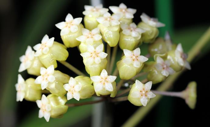 """**Hoya:** Available in white or in pale shades of pink or red, often studded at the center with a contrasting coloured star. They can be grown outdoors in moist, rich, free-draining soil in a partly shaded location, or indoors as an attractive [hanging house plant](https://www.homestolove.com.au/the-best-indoor-hanging-plants-for-australian-homes-5001