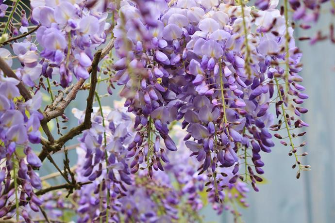 """**Wisteria:** These hardy, vigorous vines are the [perfect plants for screening](https://www.homestolove.com.au/five-fast-growing-screening-plants-for-privacy-5164