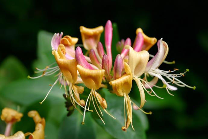 """**Honeysuckle:** Very hardy climbers, honeysuckle are easy to grow, responding well to trimming and [training as hedges](https://www.homestolove.com.au/flowering-hedge-plants-for-australian-gardens-6356