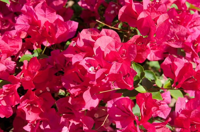 """**Bougainvillea:** Originating from the tropics, these are vigourous climbers when situated in warm to hot climates. Able to be [trained to climb vertically](https://www.homestolove.com.au/train-climbers-to-cover-your-fence-10085