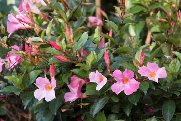 **Mandevilla.** Available in white, cream and various shades of pink. Likes a mild to warm climate (no frost), dappled sunlight and rich, moist soil. You can propagate them from cuttings or half-hardened stems in summer. Fertilising will make them grow like wild! Take care cutting them back, as they can ooze an irritating milky latex.