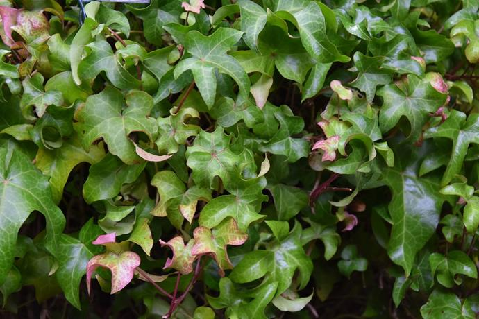 """**Hedera:** Commonly known as ivy, this species of evergreen vine is adept at climbing vertically up practically any surface or as a ground cover. Ivy will grow in almost any soil that is not waterlogged, and make excellent house plants. *Photo courtesy of [The Teddington Gardener](https://teddingtongardener.com/hedera-mandas-crested/