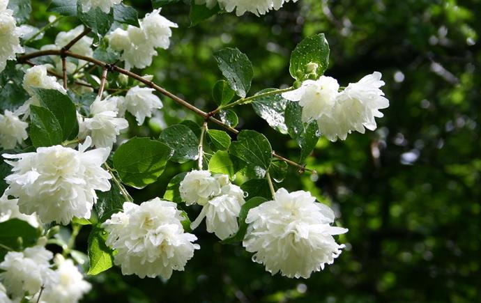 """**Jasmine:** Usually white, white flushed with pink, or yellow, jasmine are known for their fragrance, but not all species are perfumed. [Jasmine](https://www.homestolove.com.au/plant-guide-jasmine-9526