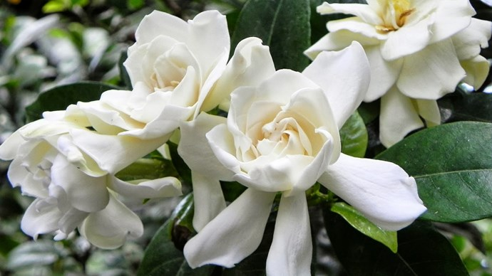 Gardenia. A stunning summer flower with its sweet little white petals enshrouded in a cluster of glossy green leaves. It's heady scent is favoured by perfumers  worldwide. Rather short stems lend itself to a cute and petite style posy, with the heady scent offering romance and grace. An elegant and chic flower  and  an eternal classic for any bride to be.